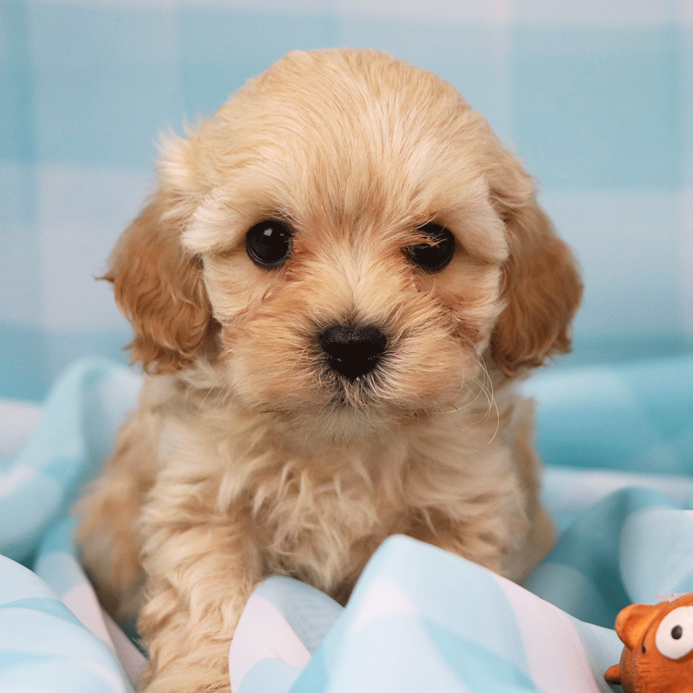 Mikey A Cream Caramel Cavapoo Puppy Cavalier King Charles Spaniel Charles Spaniel Cavalier King Charles