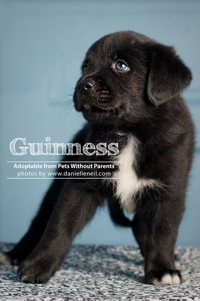 Love The Name Of This Puppy Guinness Is Adoptable In Columbus
