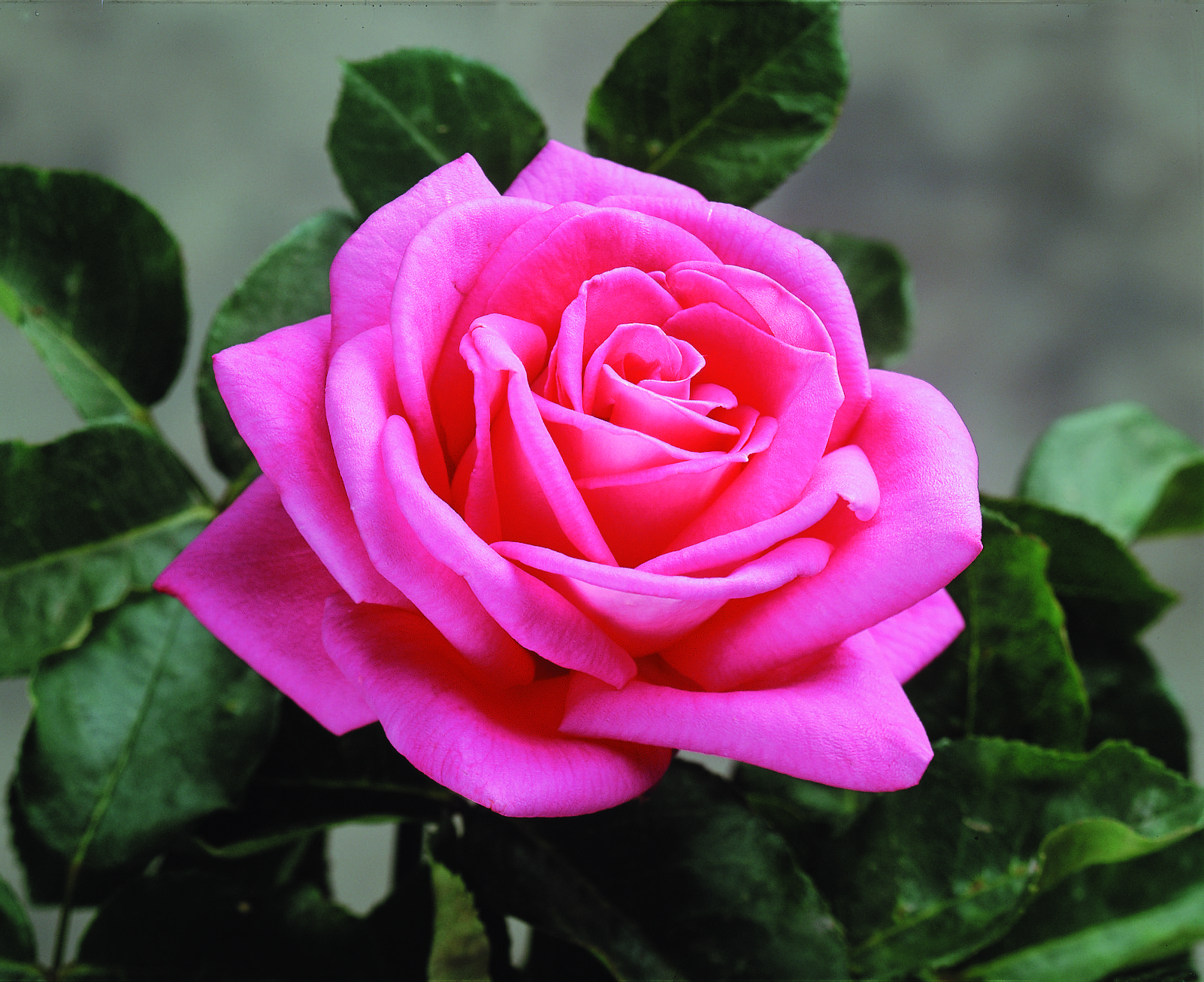 Our list of the most fragrant roses peter mayle star roses our list of the most fragrant roses peter mayle izmirmasajfo
