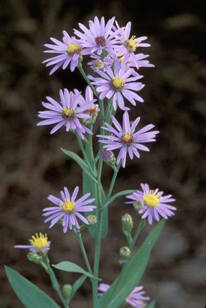 Common Name Smooth Aster Large Pyramidal Heads Of Bright Sky Blue Flower Clusters Are Held On Strong Stems Aster Flower Showy Flowers Birth Month Flowers