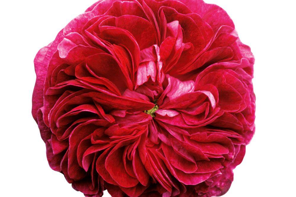 Plant BareRoot Roses Rose care, Beautiful flowers, Rose