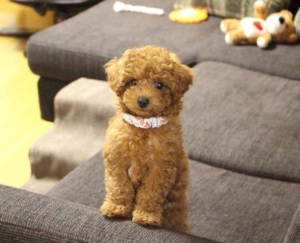 All the things I respect about the Active Poodle  #poodlepup #minipoodle #blackpoodle