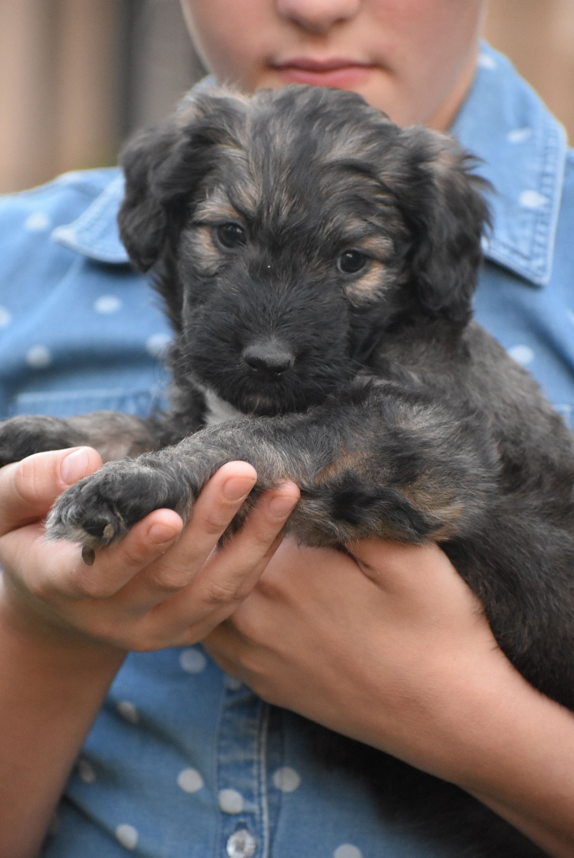 Bordoodle Phantom Poodle Border Collie Cross Puppies Poodle