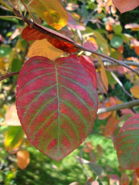 080614 Serviceberry (Amelanchier) ~ Amelanchier lamarckii leaves