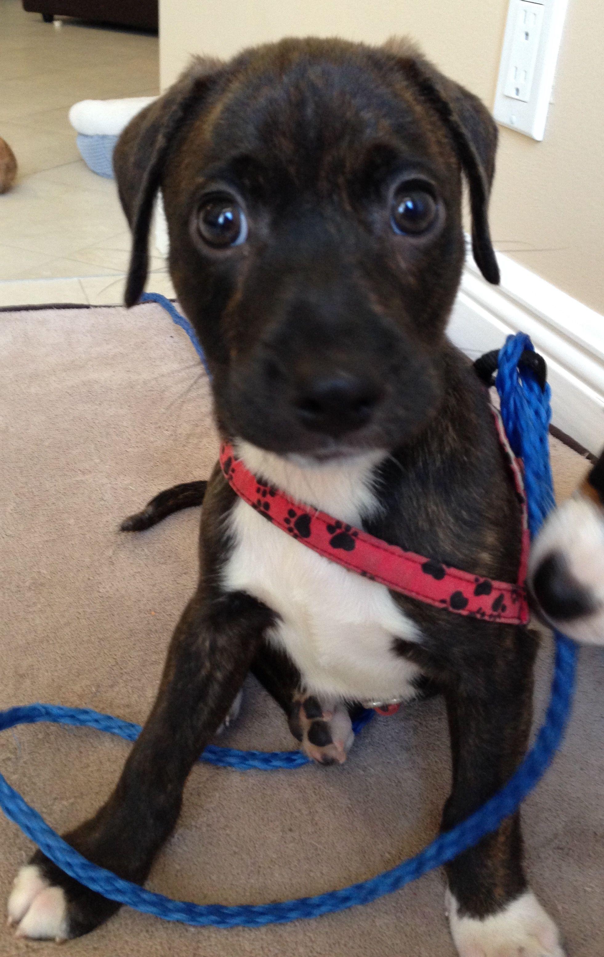 Beagle Dog For Adoption In Royal Palm Beach Fl Adn  On Puppyfinder