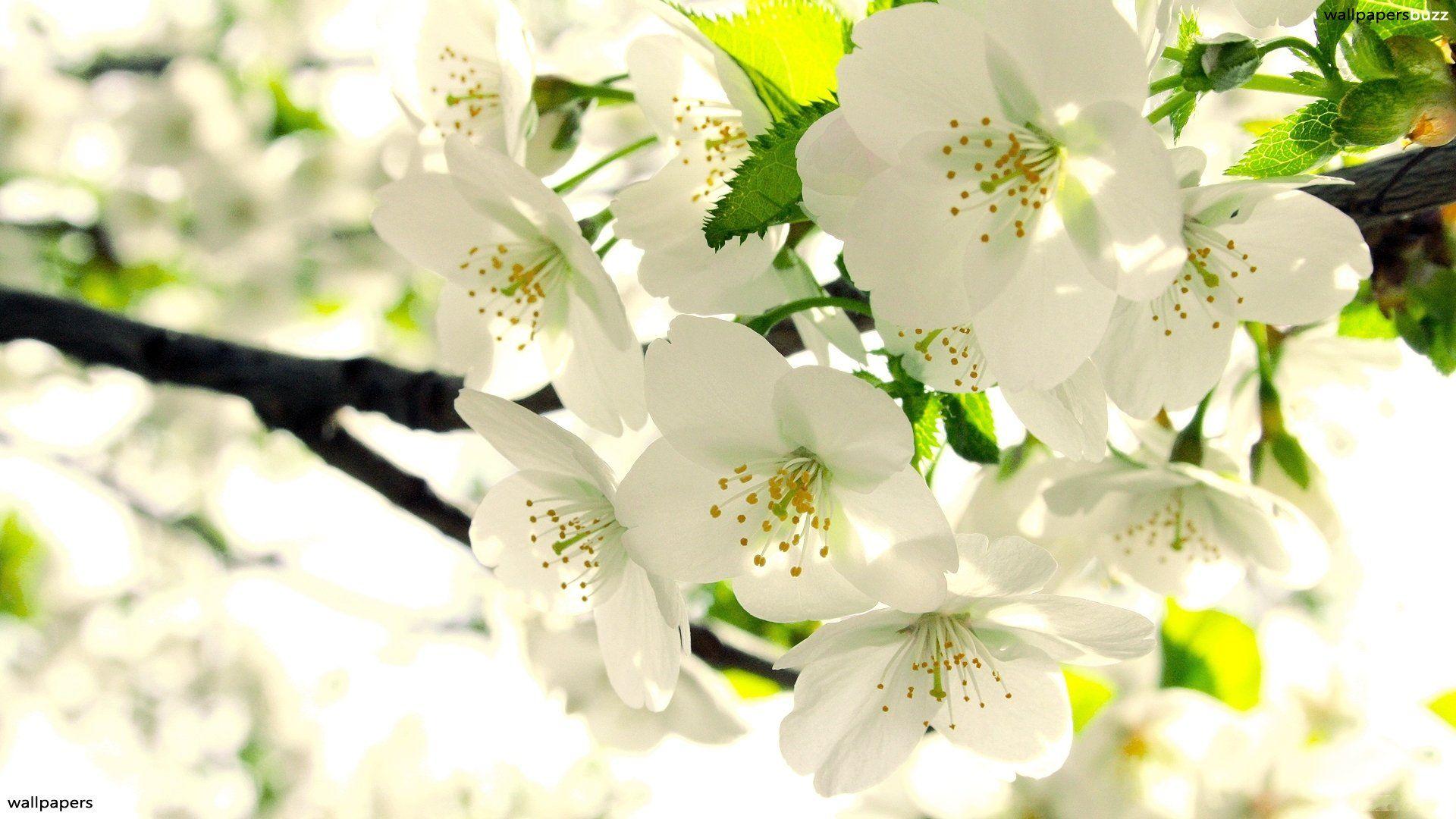 White Flowers In Basket Wallpaper Hd Download Desktop 1024 768 White Flowers Images Wallpape Beautiful Flowers Photos Apple Tree Flowers White Flower Wallpaper