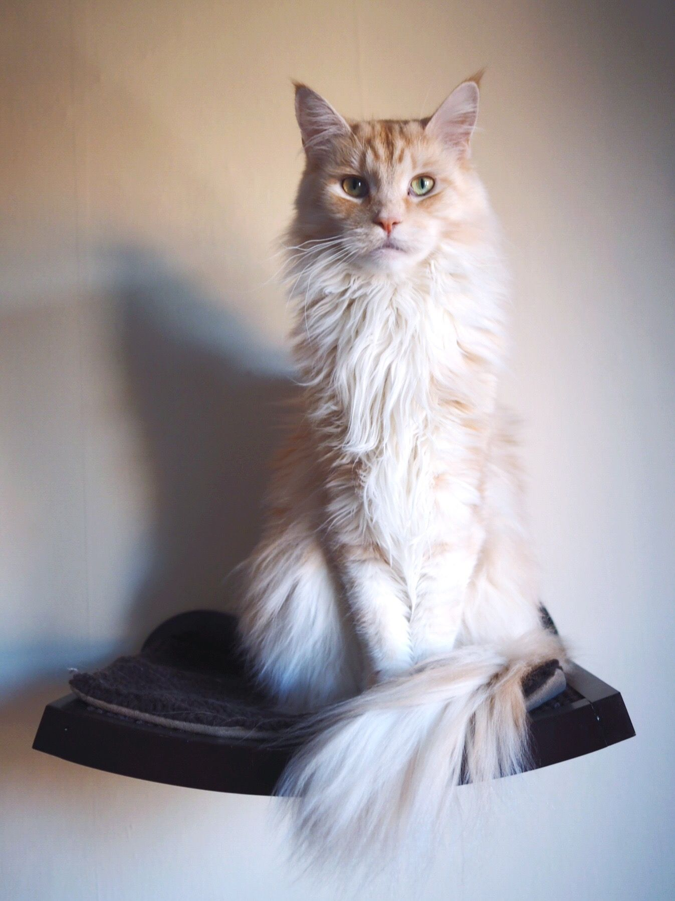 Bramble posing in the cat shelf cats funny pictures Cat