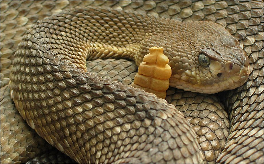 Klapperschlange Rattle Snake Mexiko Klapperschlange Foto Bilder
