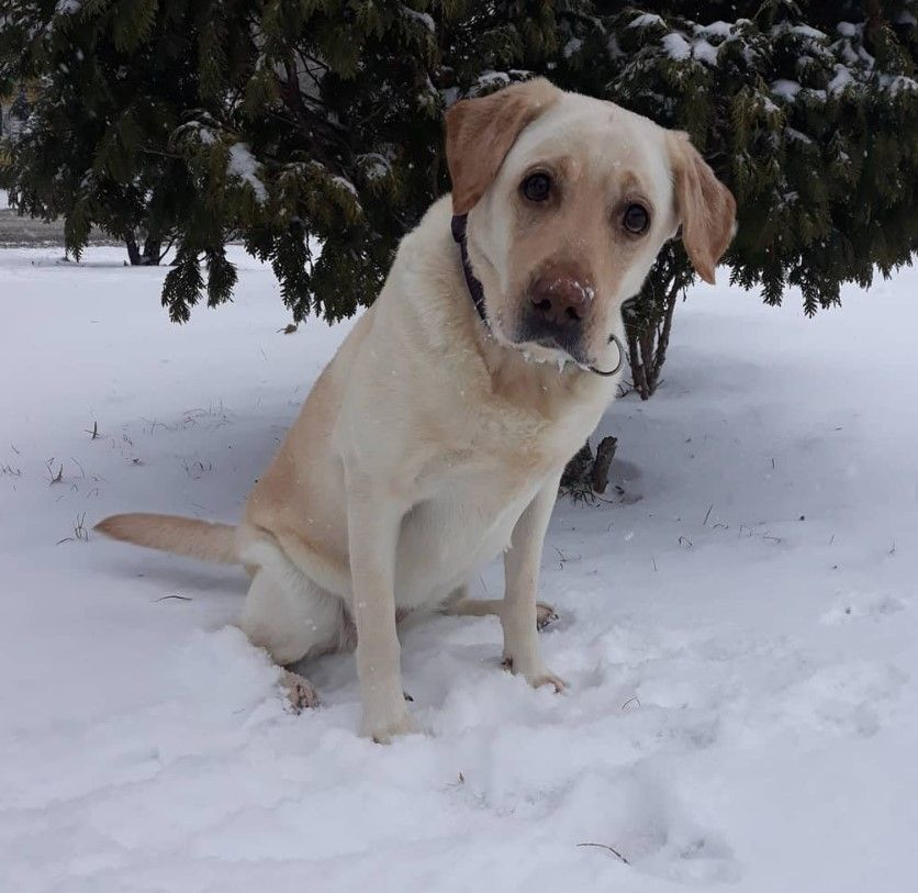 777 Best Labrador Retriever Dog Names Labradorretriever Labrador Retriever Labrador Labrador Retriever Dog