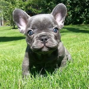 Silver Blue French Bulldog Puppy Bulldog Puppies