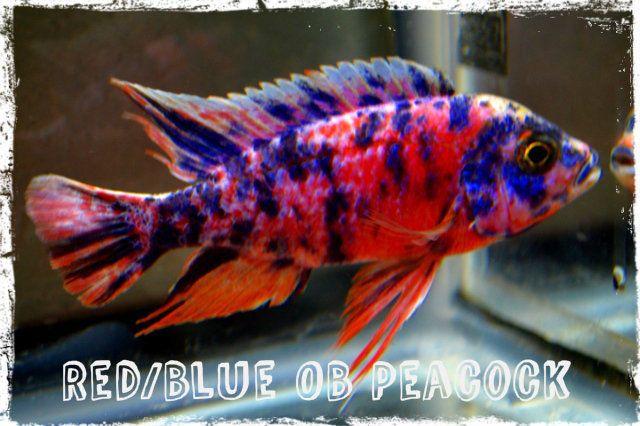Tropical Fish African Cichlids 3 Red Blue Ob Peacocks Free Shipping African Cichlids Cichlid Aquarium Cichlid Fish