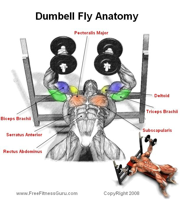 Barbell Curl Anatomy: Dumbell Fly Anatomy