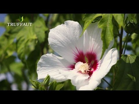 Comment tailler un hibiscus de jardin ? - Jardinerie ...