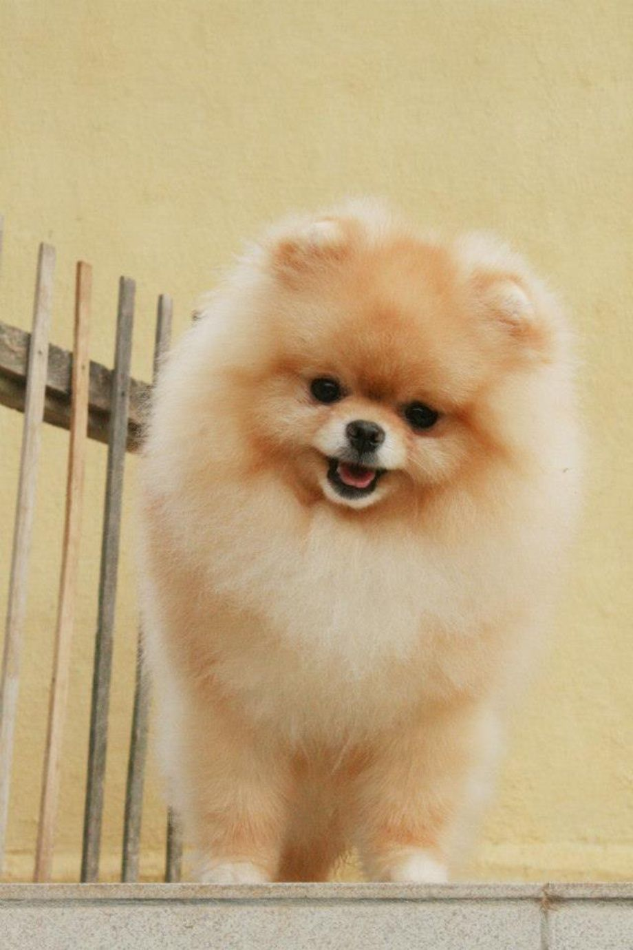 Pomeranian Dog Breed Information Dog Animal And Pomeranians - Someone should have told this dog owner that pomeranians melt in water