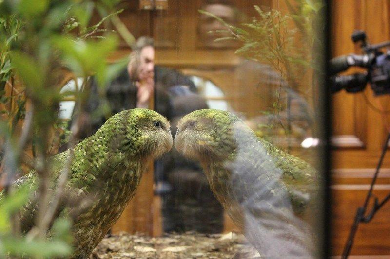 Sirocco the Kakapo wings his way to Parliament Kakapo