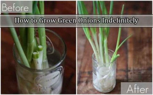 How to Grow Green Onions Indefinitely @ livinggreenandfrugally.com
