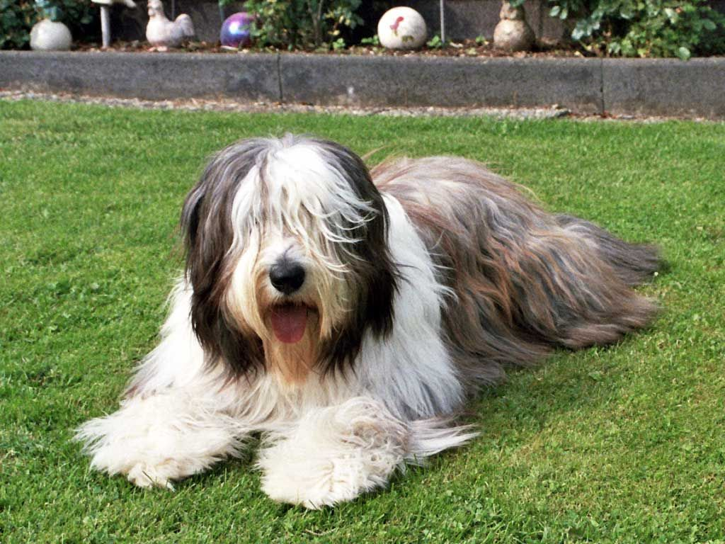 Bearded Collie Bearded Collie Dog Breed Information Bearded