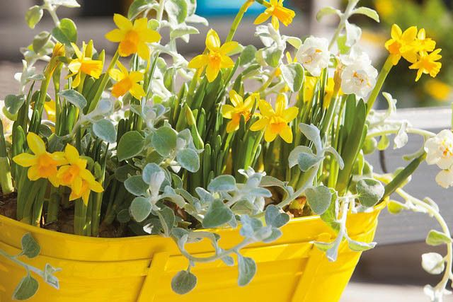 Tips To Help You Grow Your Own Daffodils In The Garden Blog Nurserylive Com Gardening In India In 2020 Planting Bulbs Plants Daffodils