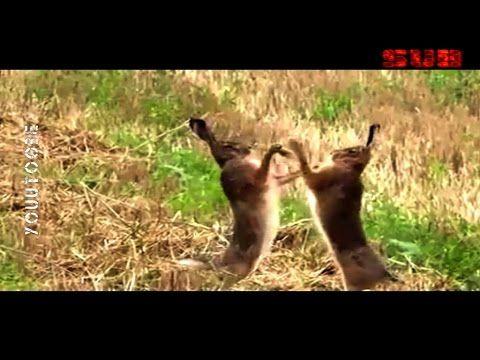 c875b2cfe Wild Rabbits FIGHT! - YouTube   XFR 02   Pinterest   Wild rabbit ...