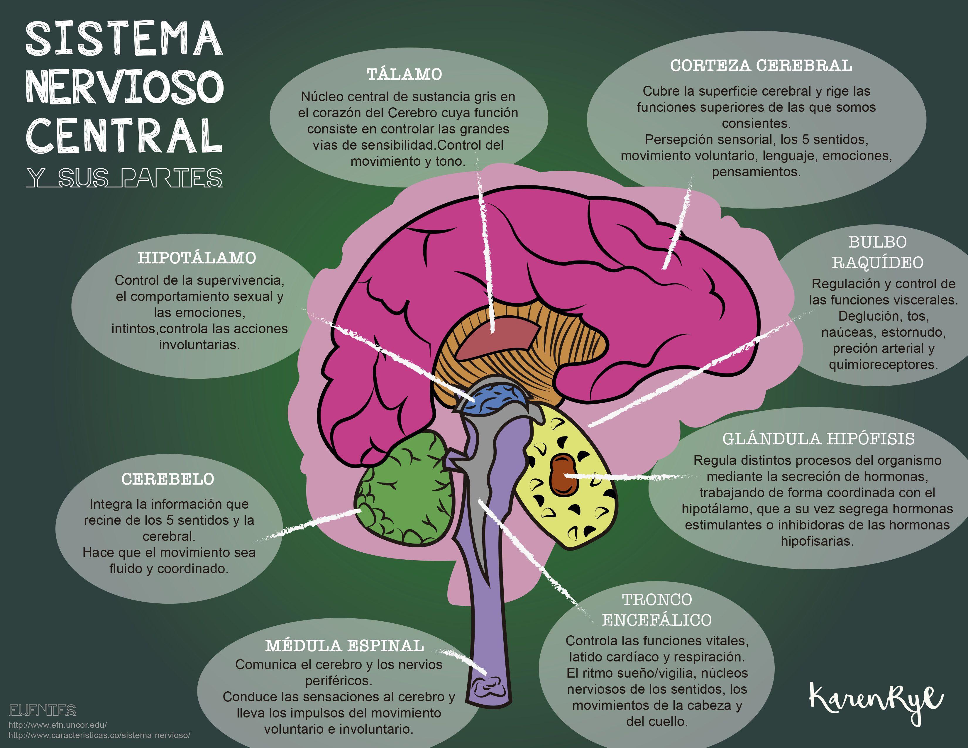 Esquema Del Sistema Nervioso Central Y Sus Partes Cuales Son Las Funciones Del Sistema Sistema Nervioso Central Sistema Nervioso Maqueta Del Sistema Nervioso
