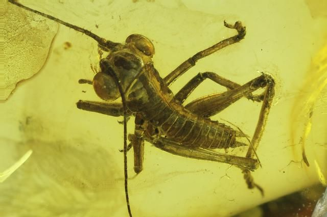 Cricket in Baltic Amber