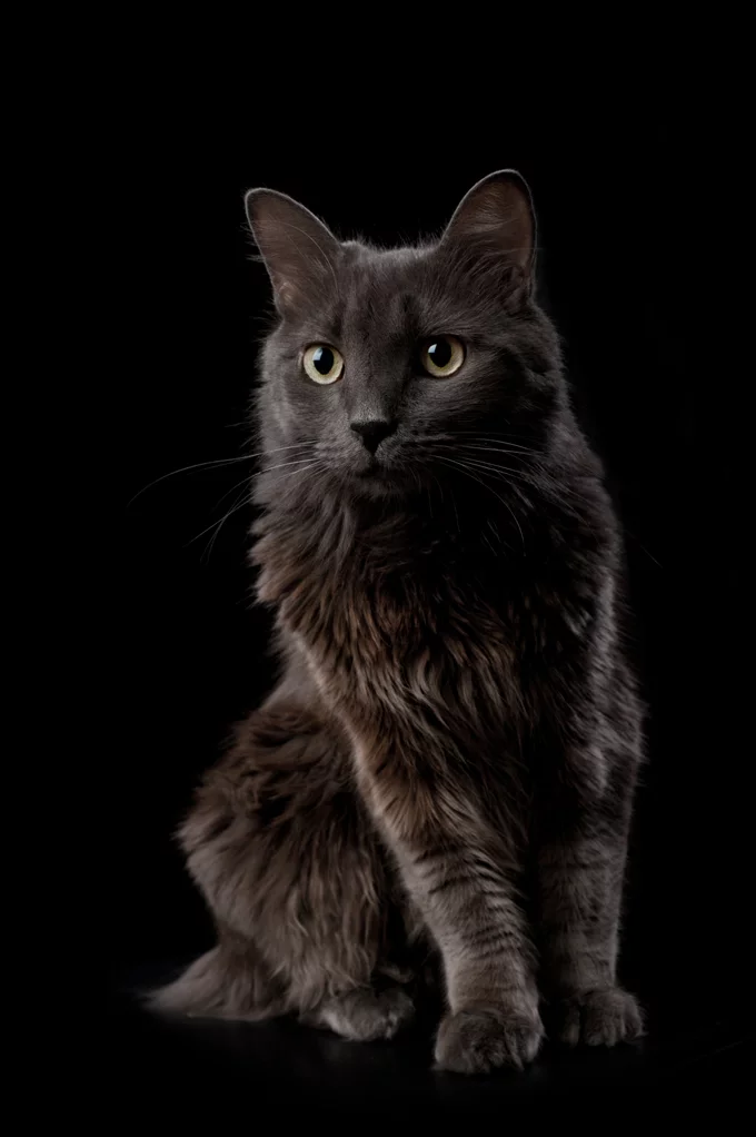Nebelung Cat Breed Information, Pictures, Characteristics