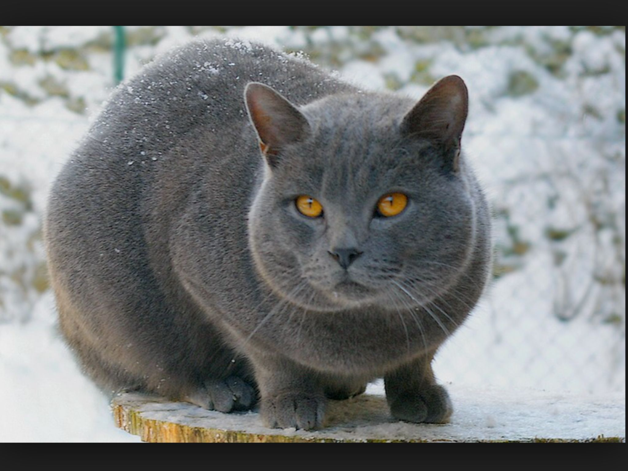 Yellowfang the ThunderClan medicine cat Chartreux cat