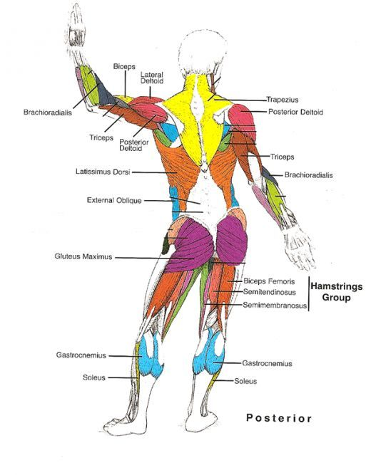 Muscles Diagrams: Diagram of muscles and anatomy charts