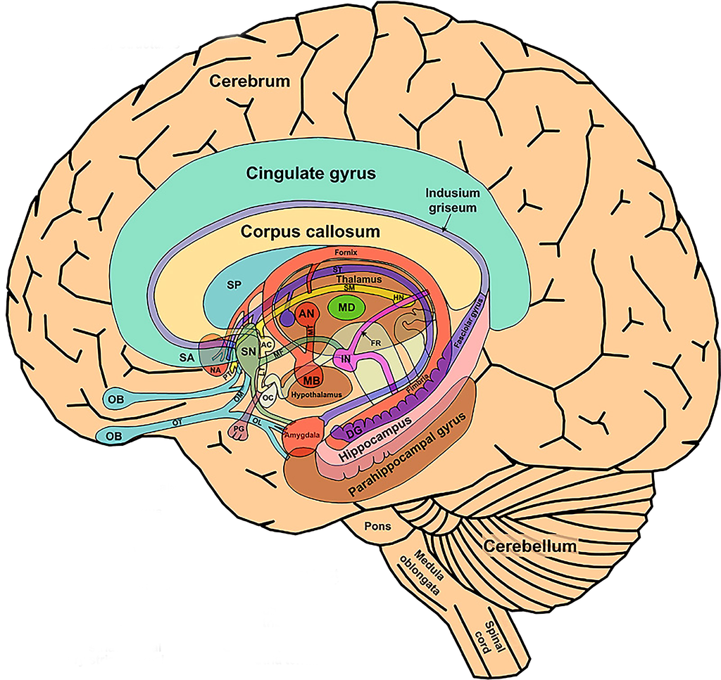 The Limbic System And Nearby Structures Small