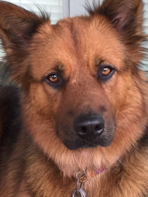 Luna The Beautiful German Shepard X Chow Mix Dogs Puppies