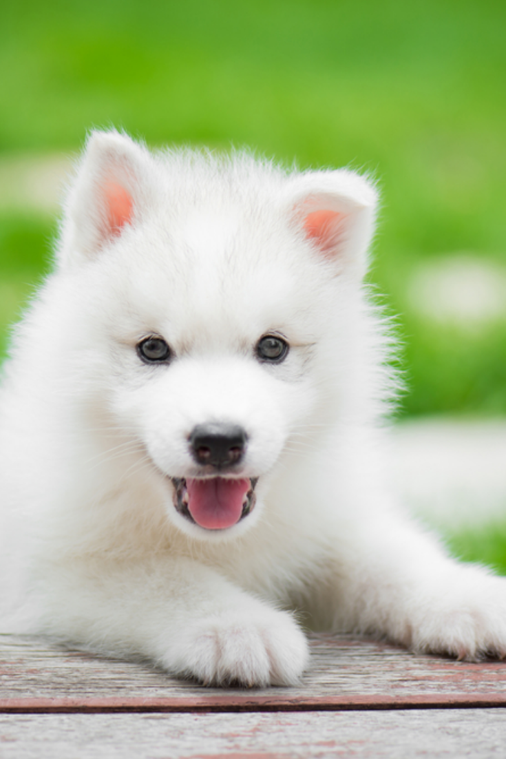 Cute siberian husky puppy playing in the park and look at ...