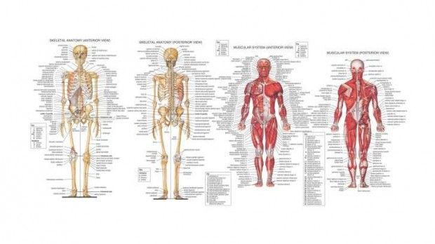 Human Anatomy HD Wallpaper