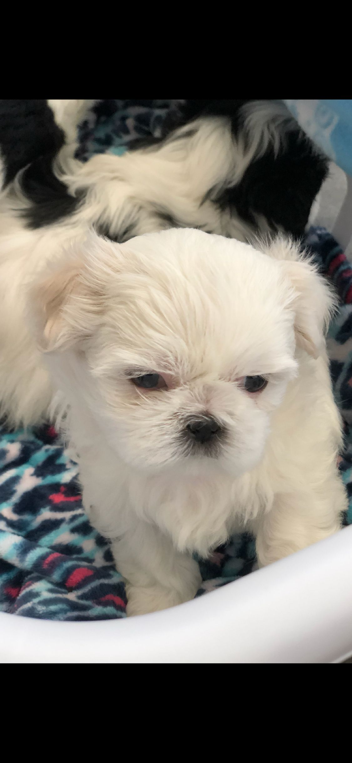 Emmy At 6 Weeks Emmy The Sweetest Shih Tzu Pinterest
