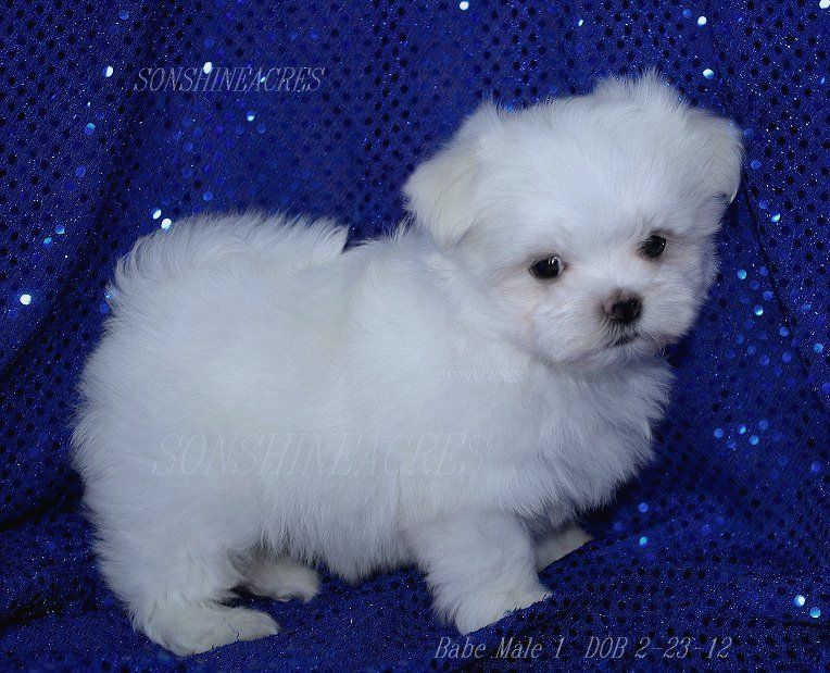 Black Maltese Puppies Malteser