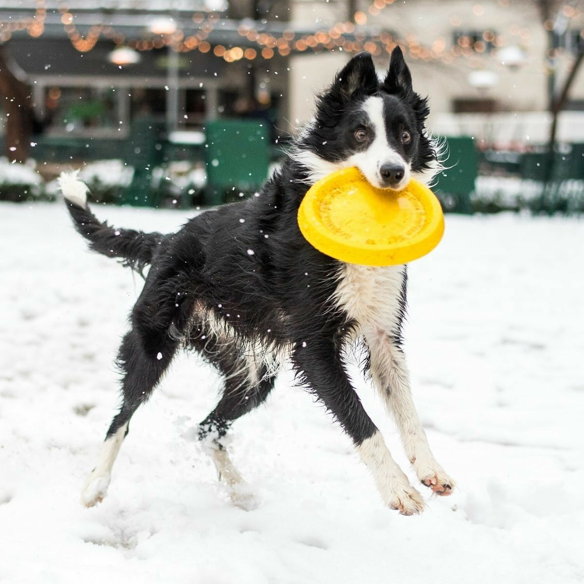 Border Collie Frisbee The Border Collie Becausethere Is No