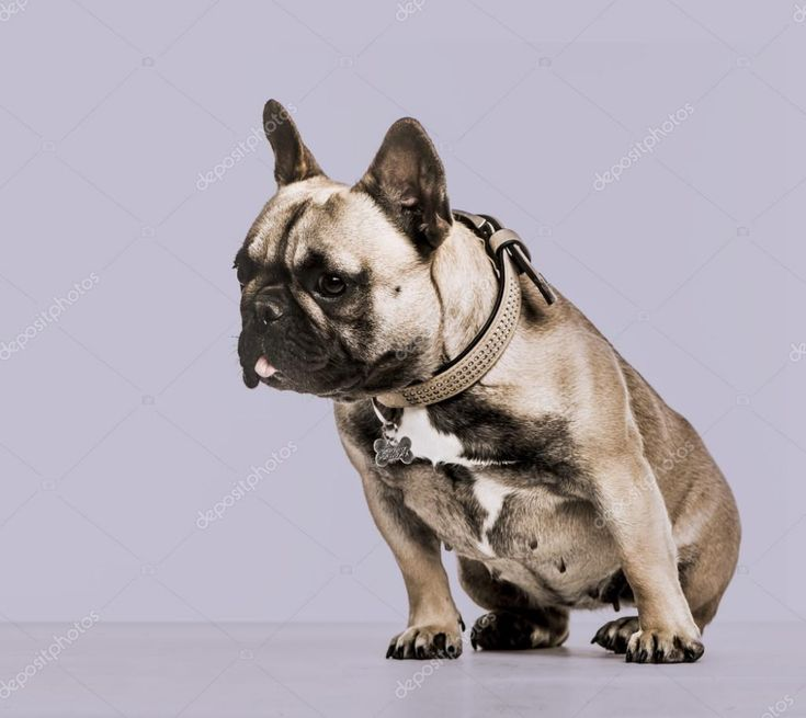 French Bulldogs Background Pugs #frenchbulldogfullgrown