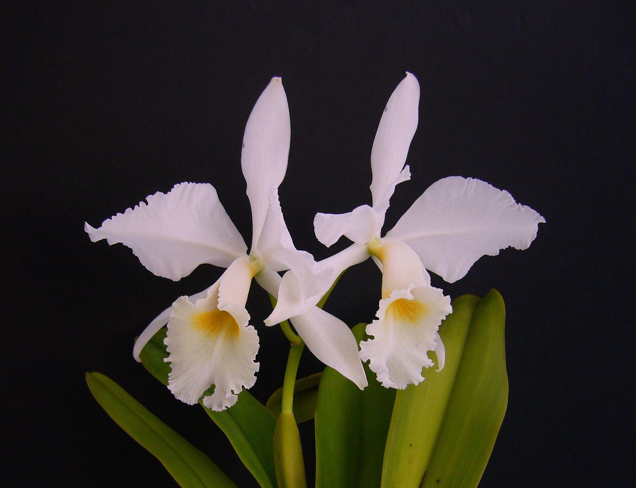 Cattleya labiata var  alba 'Angerer' | Orchid Flowers # 1