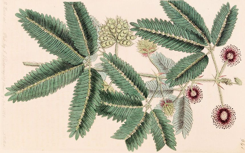 Mimosa Pudica Dibujo Botanico Dibujos Botanica