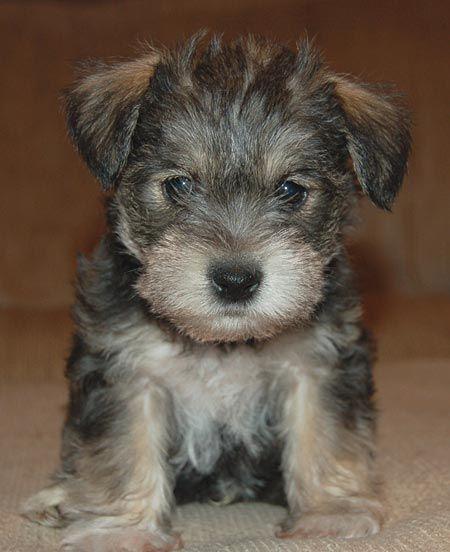 Cute Puppy Pictures Pupfolio Dailypuppy Com Puppies For Sale Schnauzer Miniature Schnauzer Puppies