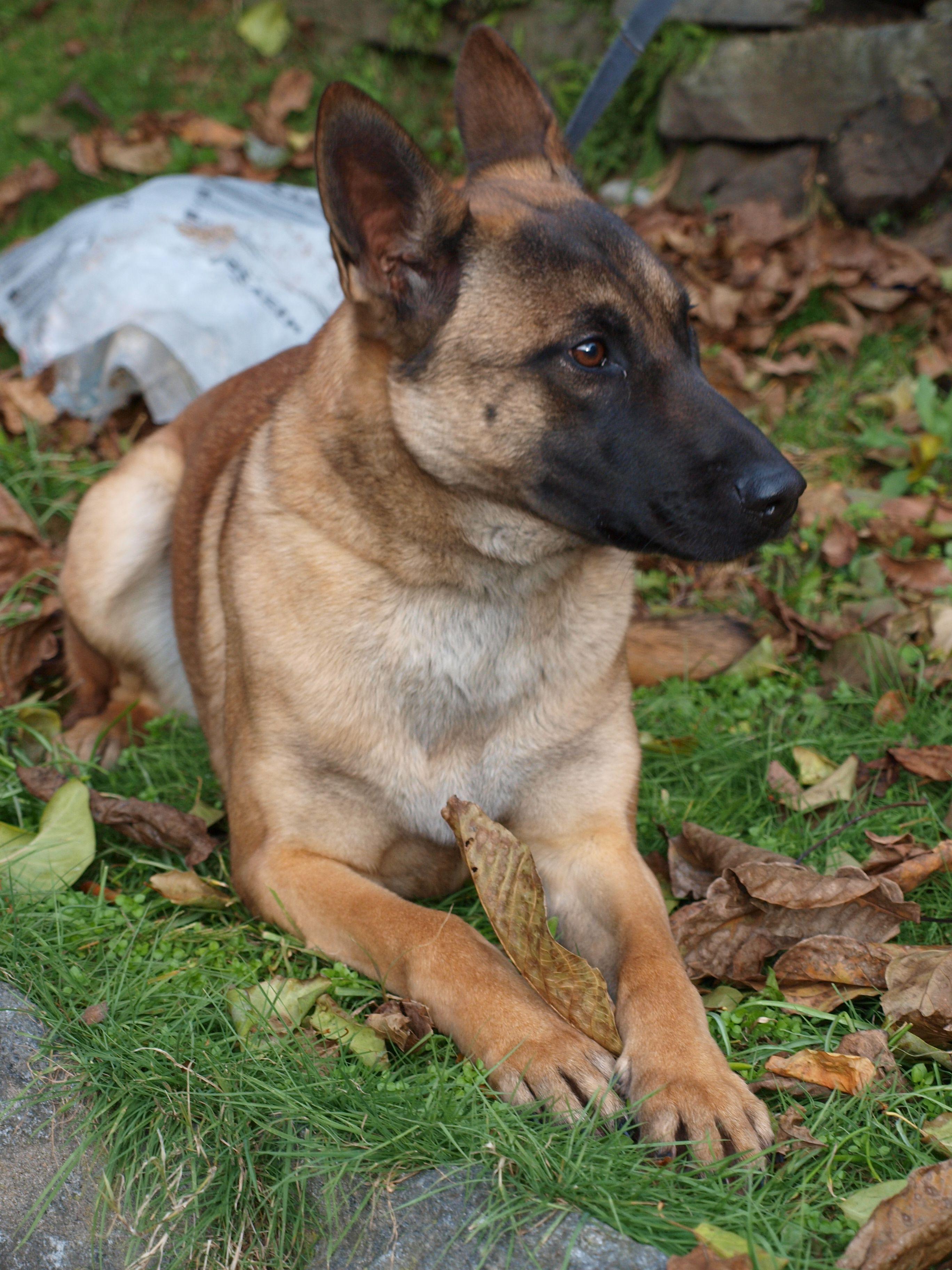 Belgian Malinois Malinois Dog