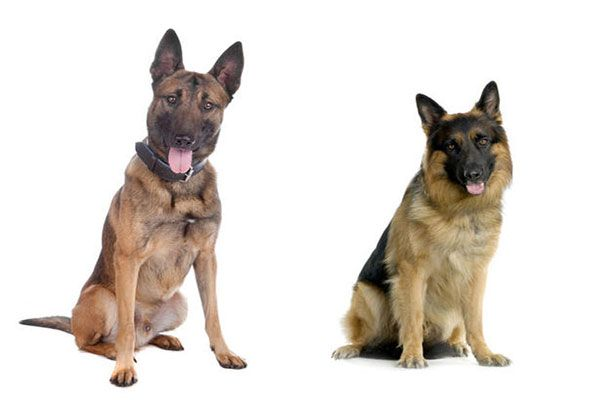 The difference between German shepherds and Belgian