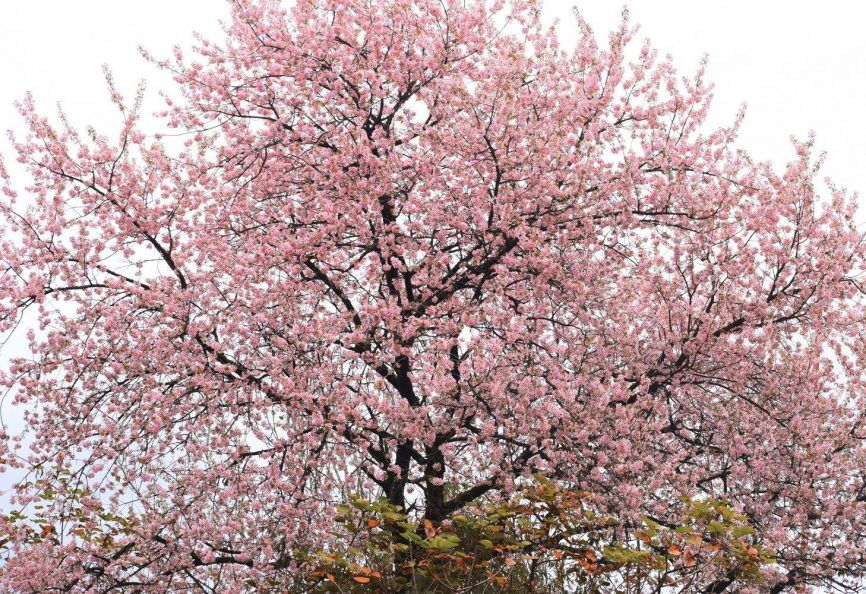 It S Time For Shillong S Cherry Blossom Festival Cherry Blossom Cherry Blossom Festival Blossom