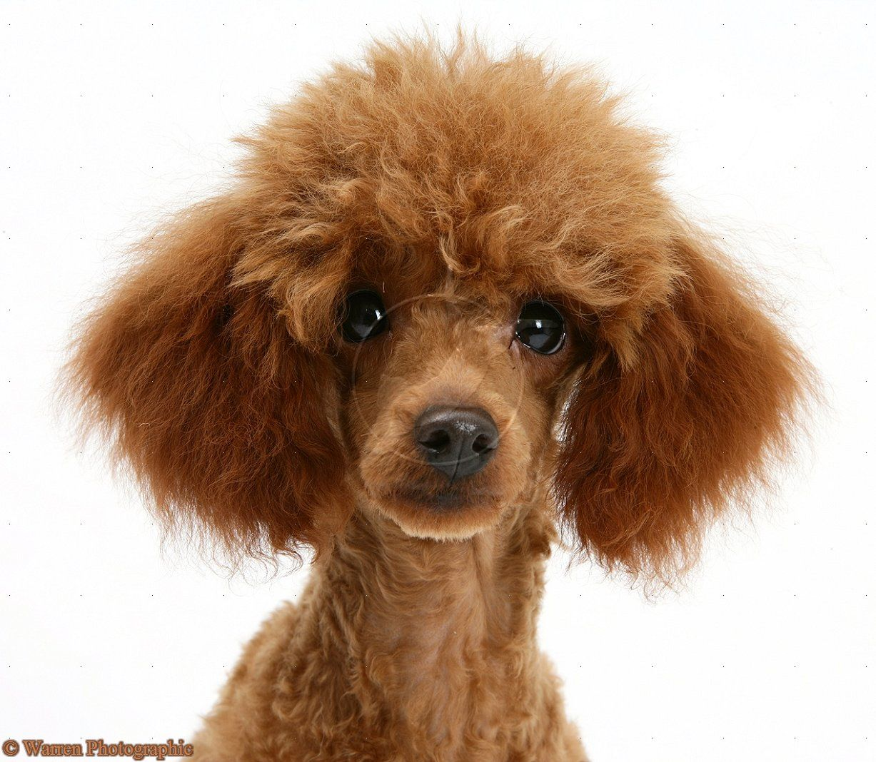 Red Toy Poodle This Is My Next Poodle Poodle 4 0 Don T Tell