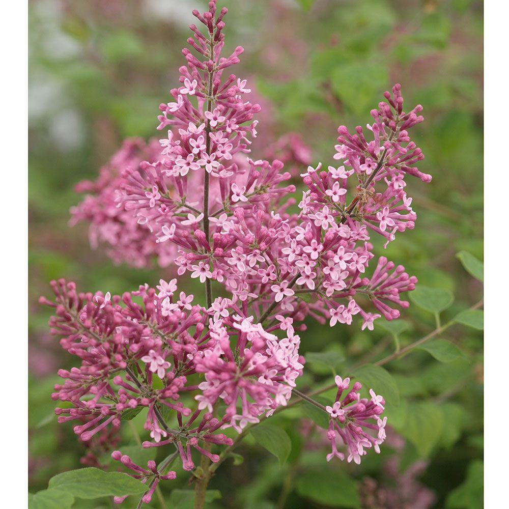 Syringa Bloomerang Pink Perfume Gardens Plants And Flowers