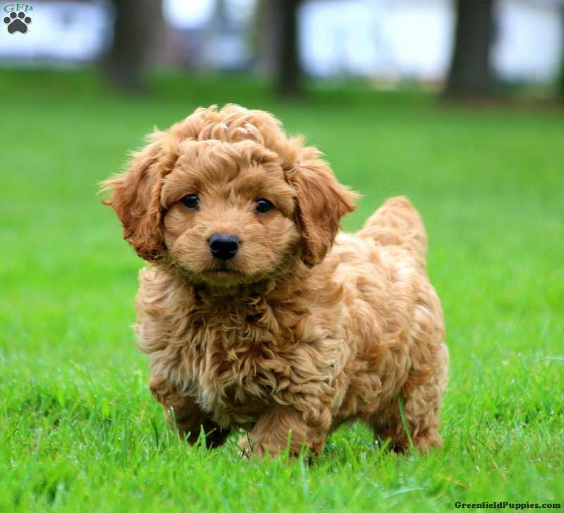 cockapoo puppies nc for sale