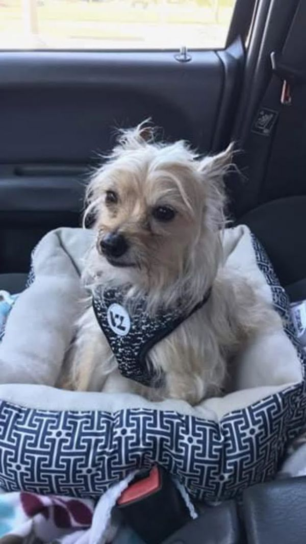 Reece, adoptable Dog, Adult Male Yorkshire Terrier