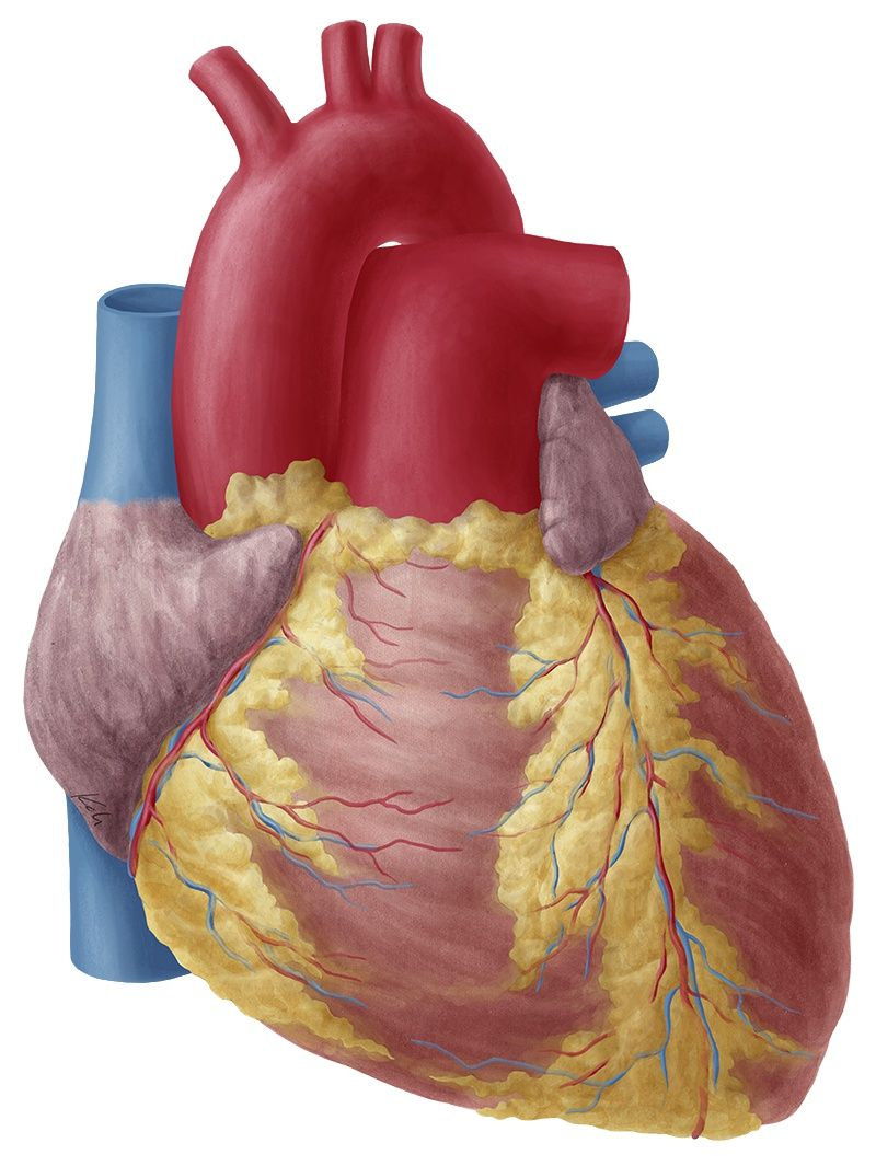 Heart anatomy anterior view without labeled - www.anatomynote.com ...