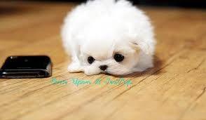 Full Grown Teacup Pugs Google Search Teacup Pomeranian Full
