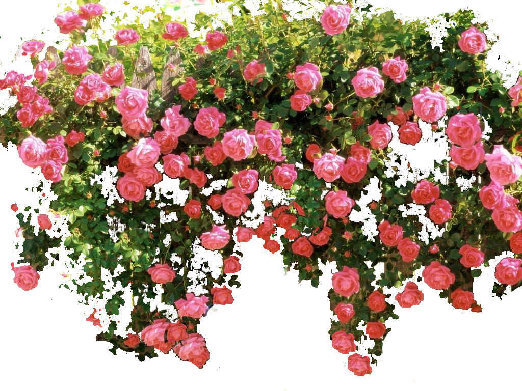 Image result for climbing roses transparent background ...