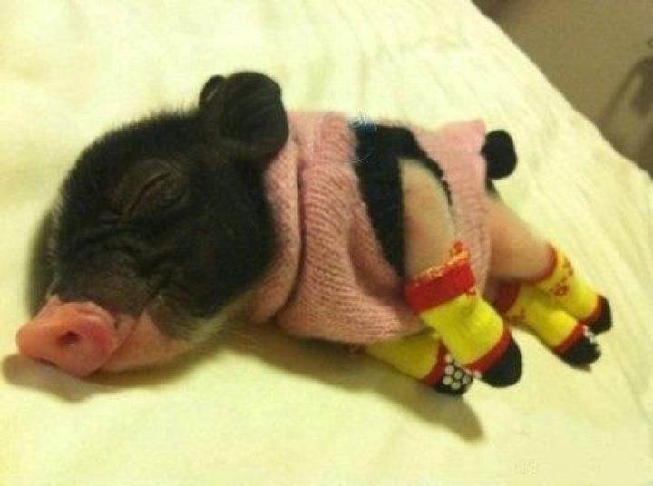 Tiny pig in sweater and socks!